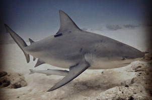 Bull shark in Playa del Carmen Mexico