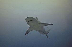 immersione con squali leuca, immersione con gli squali, squali leuca a playa del carmen