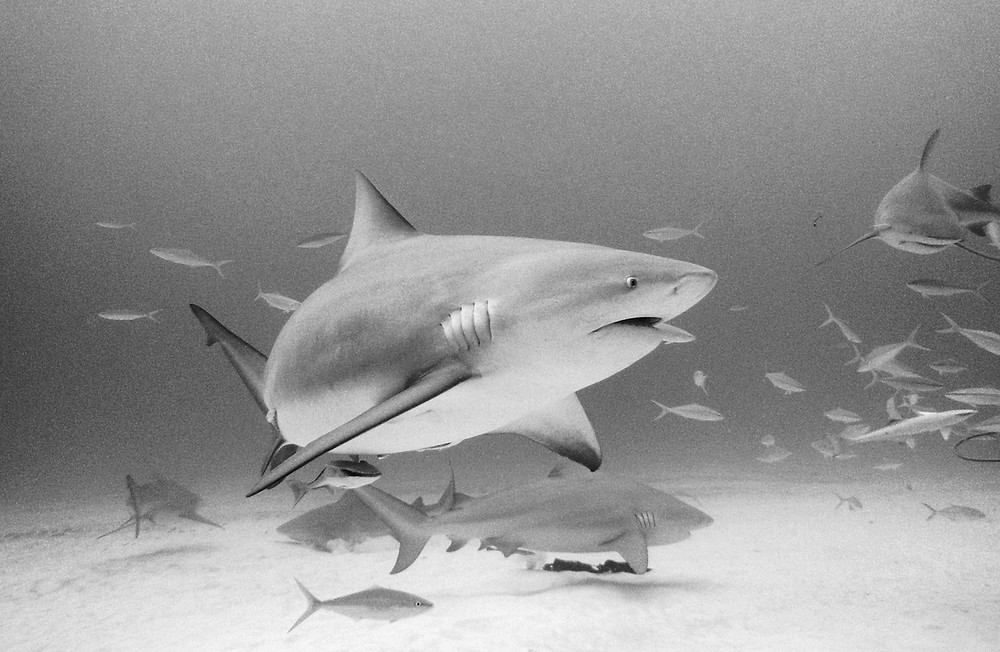 Bull sharks in Playa del Carmen Mexico