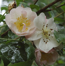 Rosa 'Sourire d'Orchidee' 7.jpg