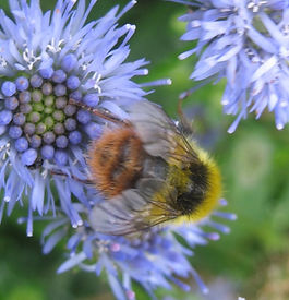 Bumble bee on blue flower.jpg