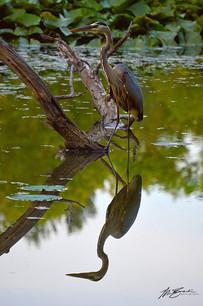 Blue Heron Lake Lemon