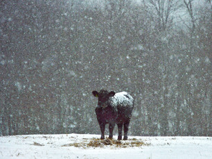Calf In Snow