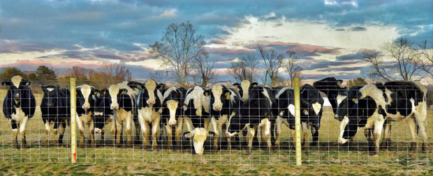 Brown County Cows