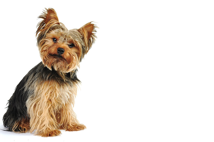 Yorkshire Terrier in White Studio.jpg