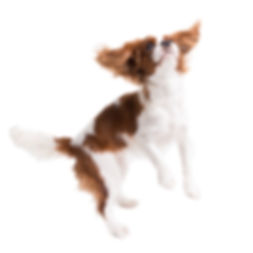 Cavalier King Charles Spaniel jumps in s