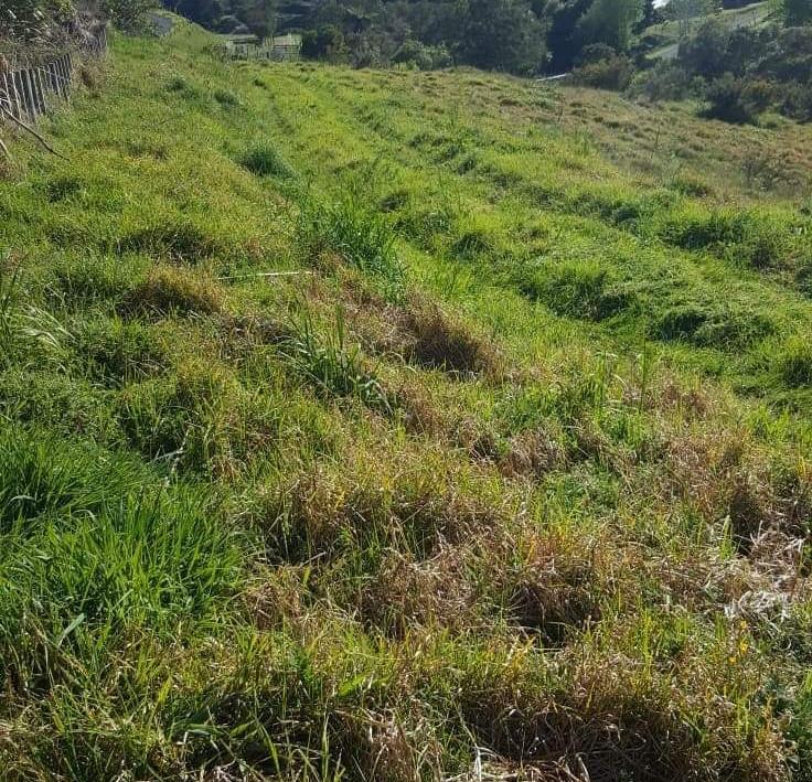 Kikuyu grass mulching before