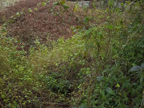 Overgrown section/blackberry mulching before