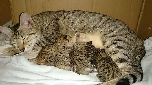 Savannah kittens for sale UK