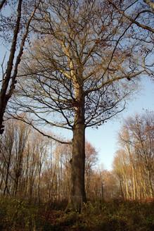 Chêne des moines