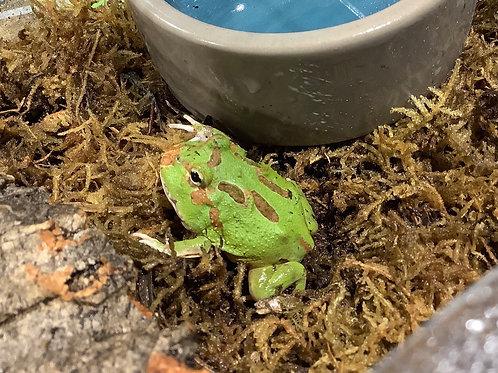 Four Spot Patternless Green Pac-Man Frog