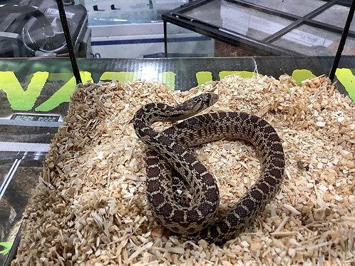 0.1 Sonoran Gopher Snake