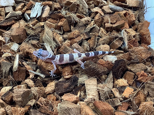 Baby High Yellow Leopard Geckos