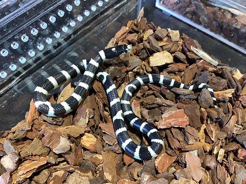 1.0 Cali King Snake