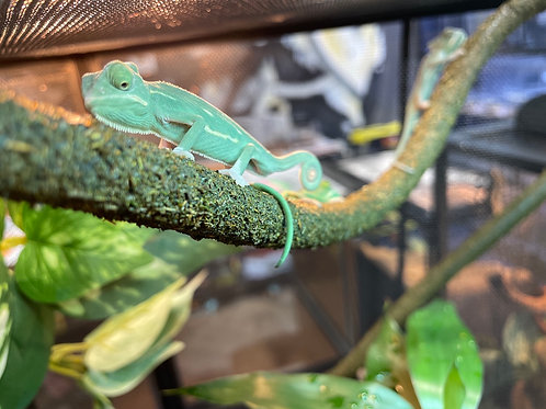 Baby Low White Pied Chameleon