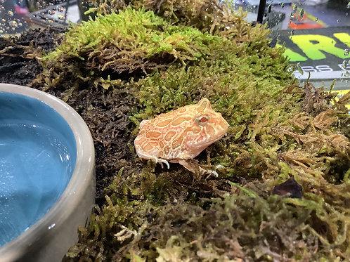 Strawberry Pac Man Frog
