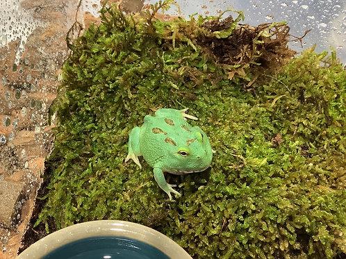 Green Apple Pacman Frog