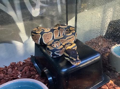 0.1 Wild Type Ball Python