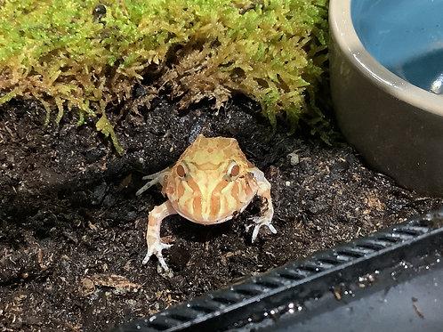 Albino Pac-Man Frog Baby