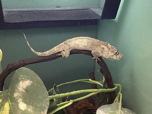 1.0 False Chameleon