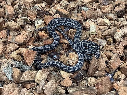 0.1 Coastal Carpet Python