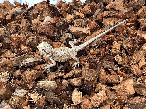 Red Hypo Baby Bearded Dragons