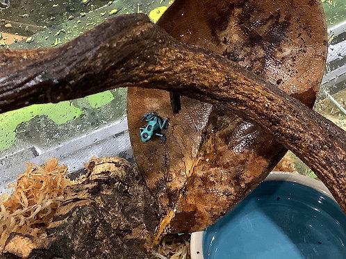 Turquoise & Black Auratus Dart Frogs
