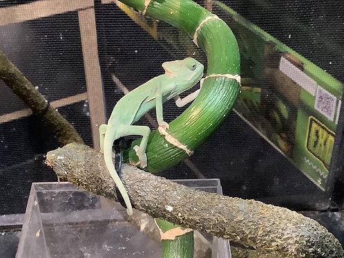 Baby Low White Pied Veiled Chameleons