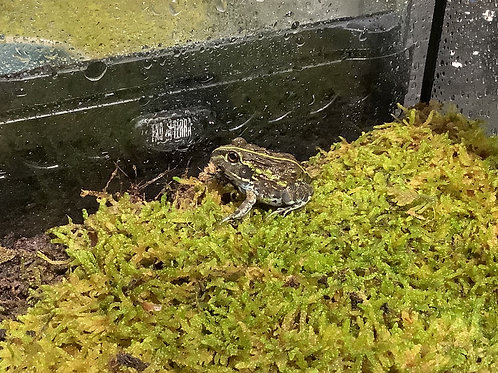 Pixie Frog Babies