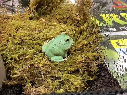 Green Apple Pac Man Frog