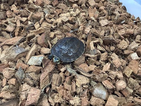 CB Asian Box Turtle