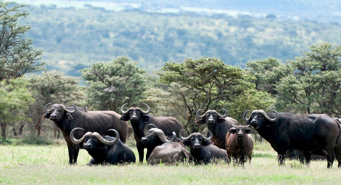 AfricanBuffalo_TDR_08Sep11_8690a_edited.
