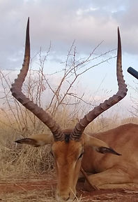Plainsgame, Büffeljagd, Großwildjagd, Jagdurlaub Afrika, hunting safari, jagdsafari, jagdreise, jagdreise afrika, hunting outfitter, hunting africa, jagd afrika, hunting adventure, jagen in afrika, jagderlebnis afrika, büffeljagd, big game hunting, großwildjagd, trophhäenjagd, trophy hunting, mark dedekind safaris, nolte roets safaris, dries visser safarism numzaan safaris, diana jagdreisen, blaser safaris, buffalo hunting, büffeljagd