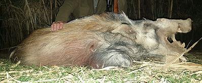Buschschwein Jagd, Büffeljagd, Großwildjagd, Jagdurlaub Afrika, hunting safari, jagdsafari, jagdreise, jagdreise afrika, hunting outfitter, hunting africa, jagd afrika, hunting adventure, jagen in afrika, jagderlebnis afrika, büffeljagd, big game hunting, großwildjagd, trophhäenjagd, trophy hunting, mark dedekind safaris, nolte roets safaris, dries visser safarism numzaan safaris, diana jagdreisen, blaser safaris, buffalo hunting, büffeljagd