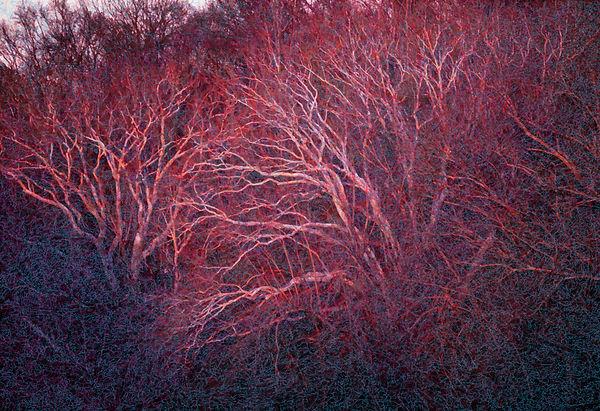 02_Lisa_Sheirer_Red Trees.jpg
