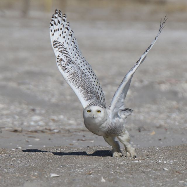 #snowy #owl #canon #7dmarkii #7dii #70x200 #birl in #flight #motion #nature More Owls coming later..