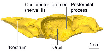 Dogfish 3D print anatomy