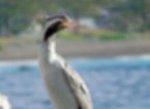 Phalacrocorax punctatus