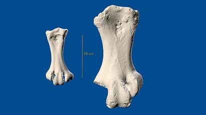 Moa ankle bone