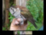 Raising cuckoos
