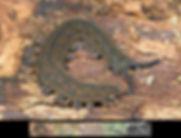 New Zealand velvet worms (SoilBugs)