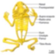 Frog skeleton 3D print
