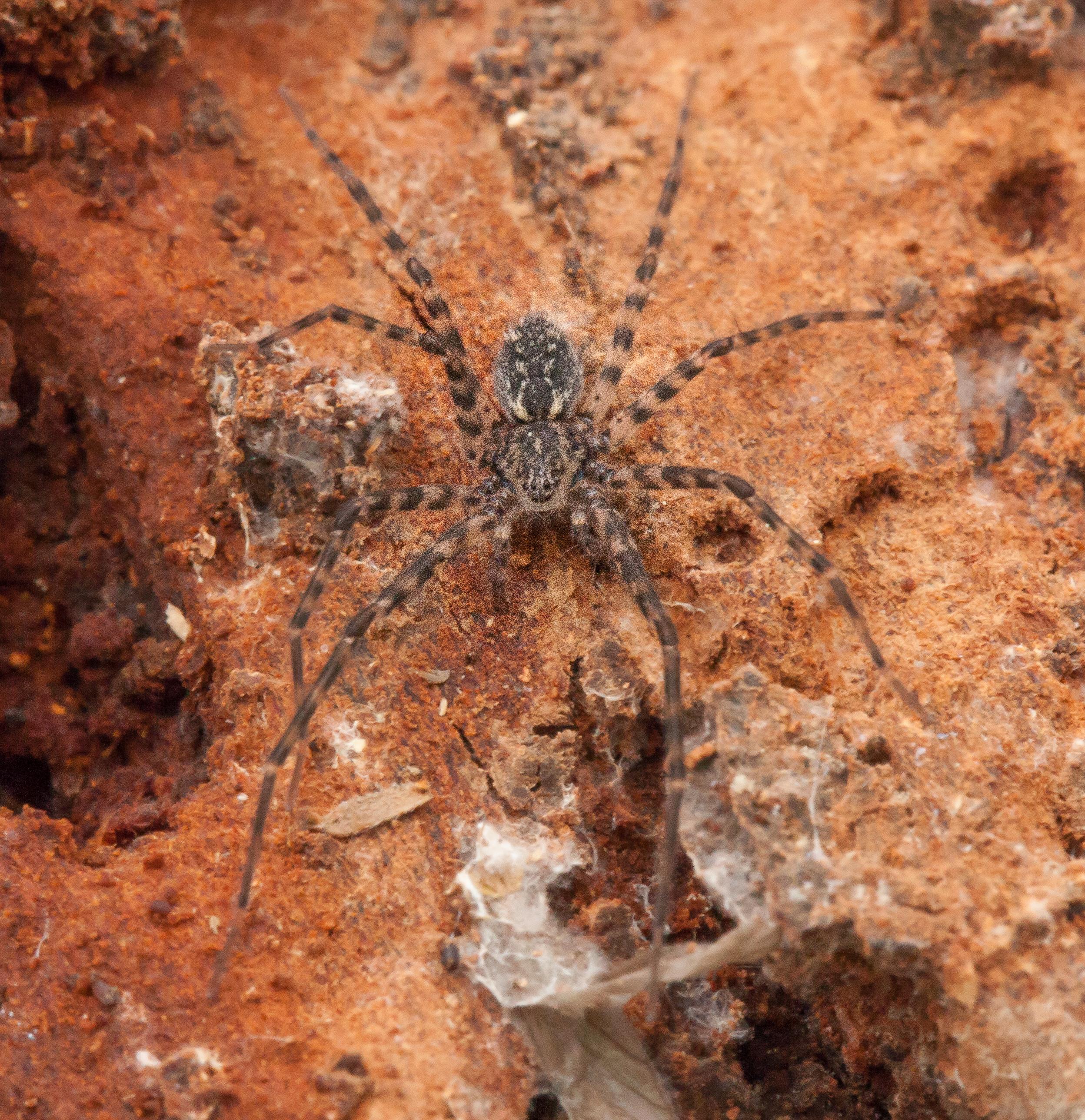 Sombrero spider