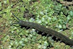 New Zealand velvet worm