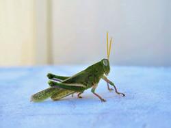 Green grashopper, Western Australia