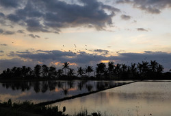Birds fly over the field, Bali