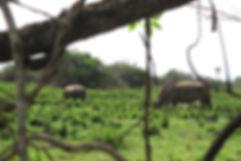 Rhino's at Ziwa Rhino Sanctuary, Uganda