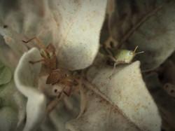 Grashopper, outback of Australia