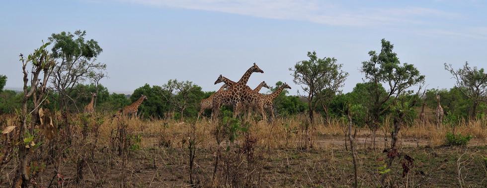 Giraffes in Murchison Falls National Park, Uganda