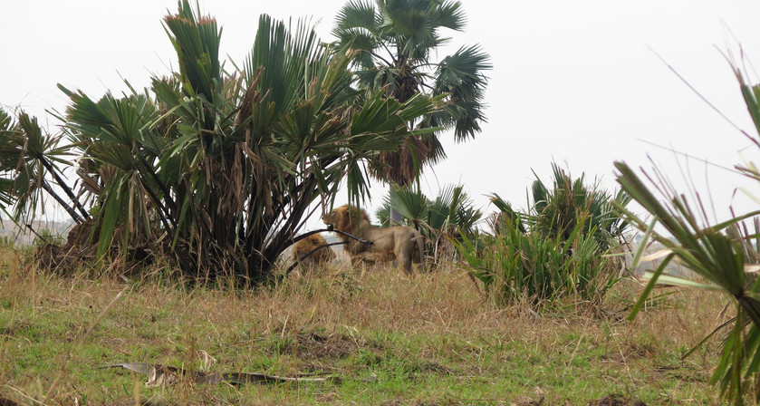 Lions in Murchison Falls National Park, Uganda